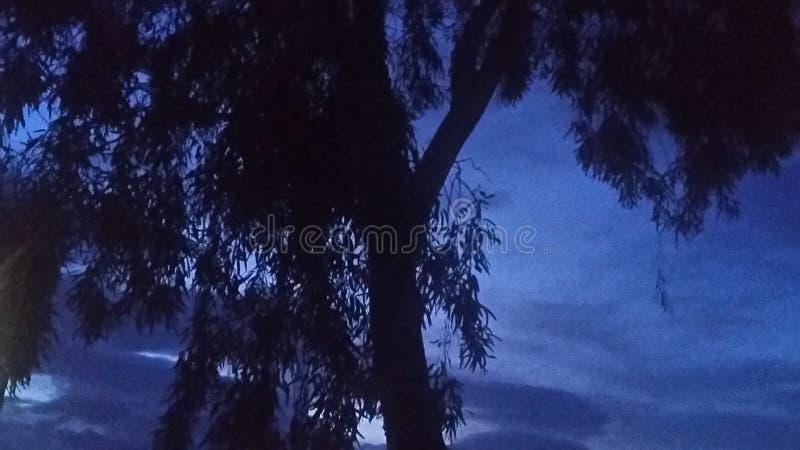 Eucalyptus at dusk stock images
