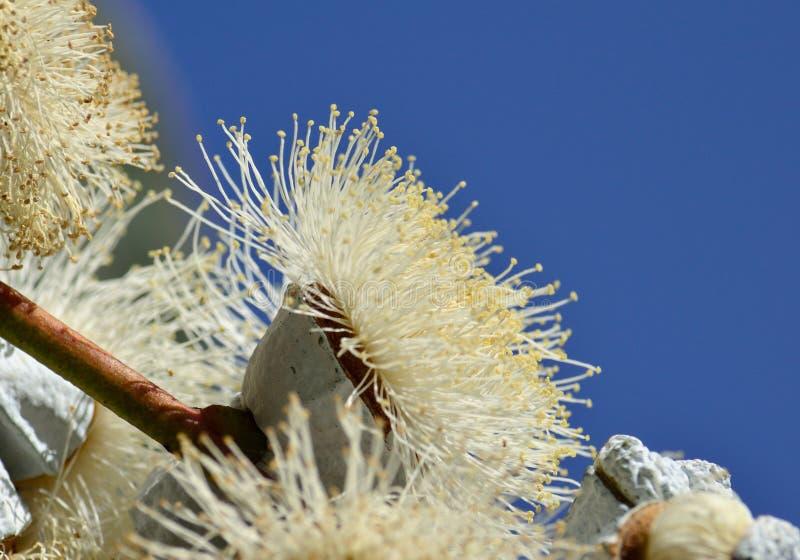 Download Eucalyptus Flower Stock Photo - Image: 83709576