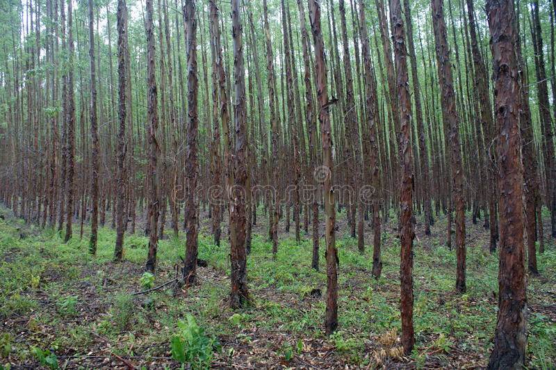 Eucalyptus forest stock photos