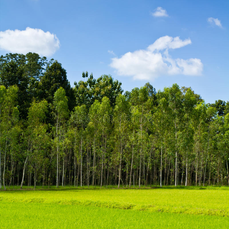 Download Eucalyptus forest stock image. Image of agricultural - 20311017