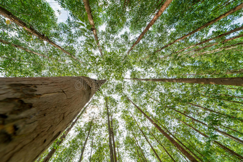 Eucalyptus forest royalty free stock photography