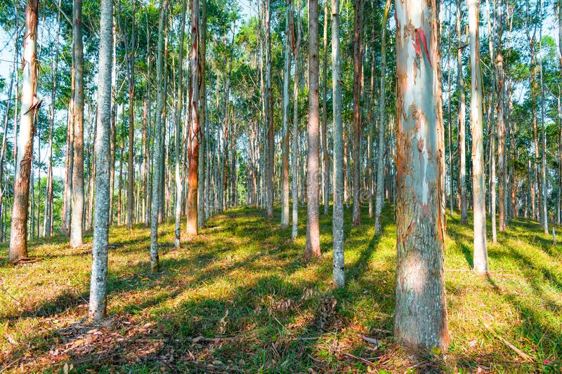 EUCALYPTUS FOREST WITH SATURATED BLUE SKY. EUCALYPTUS FOREST LANSDSCAPE WITH SATURATED BLUE SKY stock photos