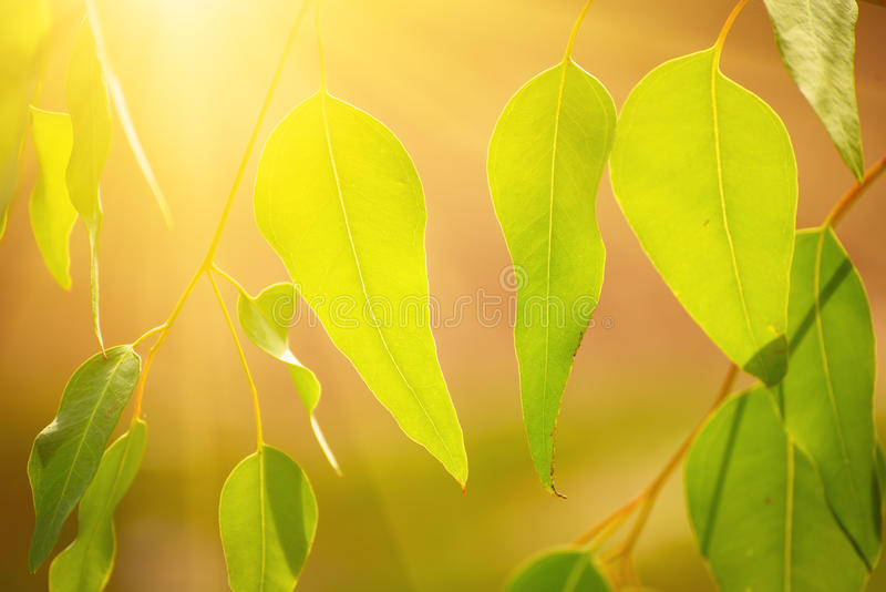 Download Eucalyptus green leaves stock photo. Image of endemic - 83704310