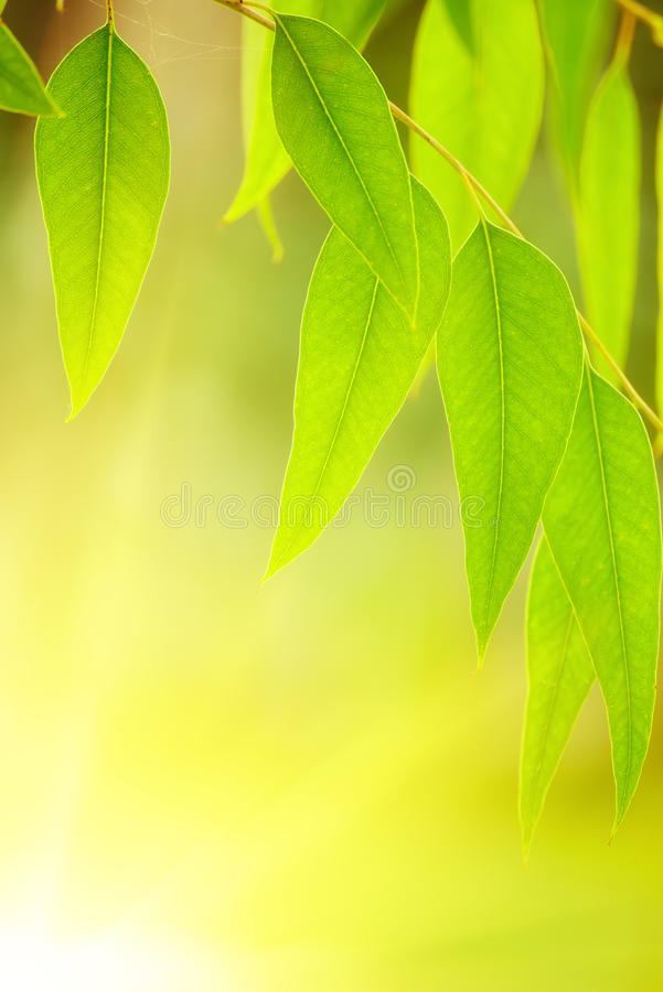 Download Eucalyptus green leaves stock image. Image of environment - 83711981