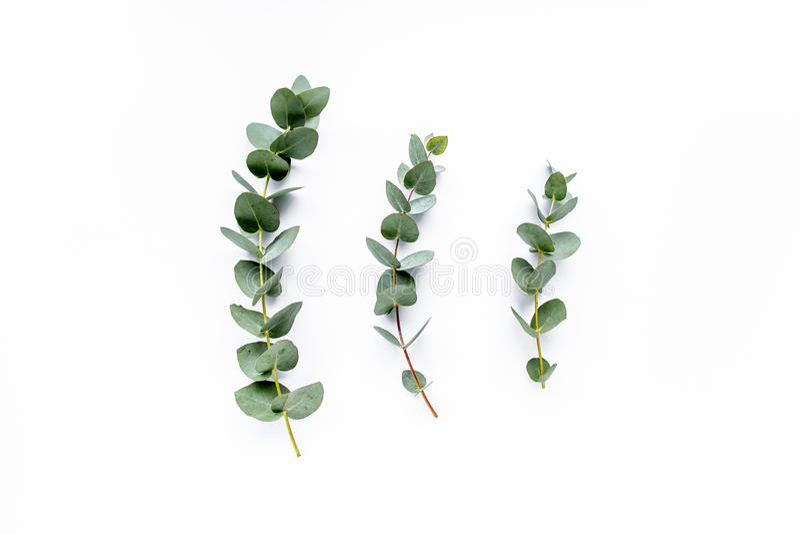 Eucalyptus stock photography