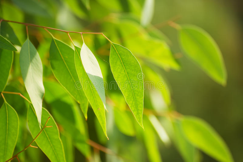 Eucalyptus groene bladeren royalty-vrije stock foto's