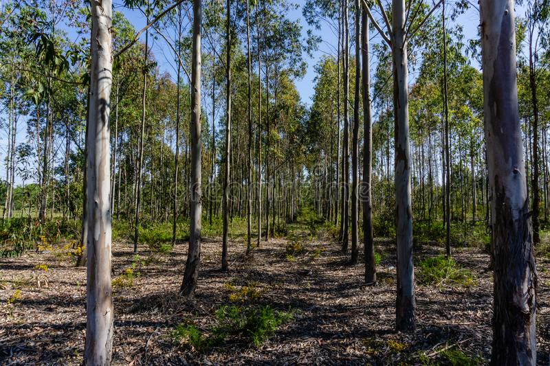 Eucalyptus grove with parallel trees revealing a path in the for stock image