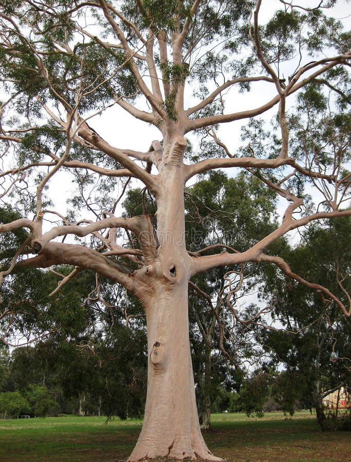 Download Eucalyptus Gum Tree stock image. Image of silky, ghost - 15941309