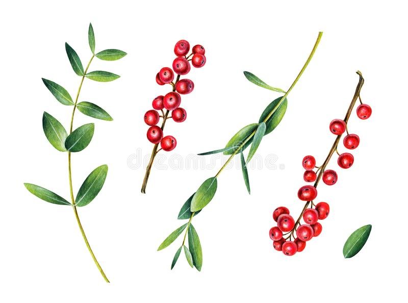Eucalyptus and ilex branches. Red winterberry. royalty free stock photography
