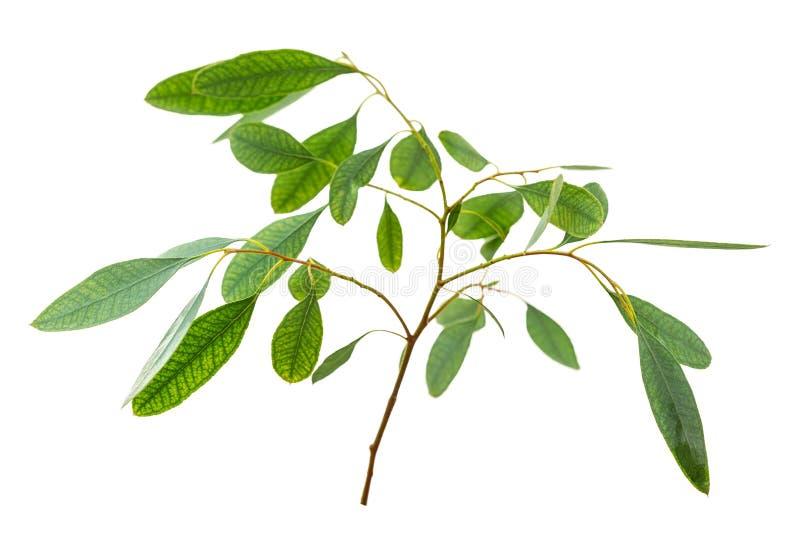 Eucalyptus isolato su fondo bianco fotografia stock libera da diritti