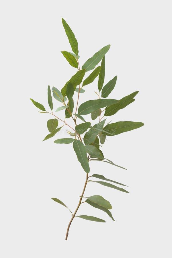 Eucalyptus isolato su fondo grigio con il percorso di ritaglio fotografia stock libera da diritti