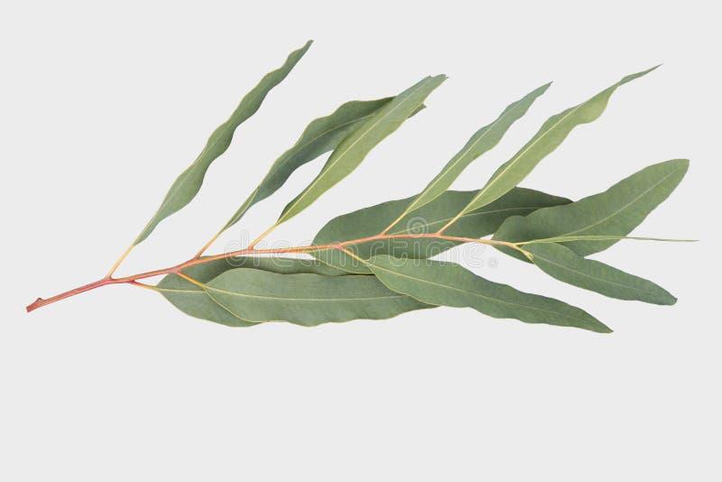 Eucalyptus isolato su fondo grigio con il percorso di ritaglio fotografie stock libere da diritti