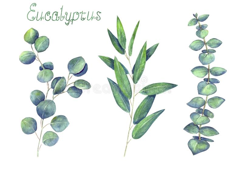 Eucalyptus leaves and branches blue green set isolated on white background royalty free illustration