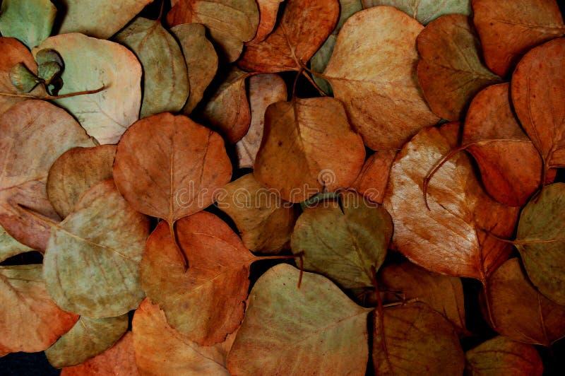 Eucalyptus Leaves. Close-up of dried eucalyptus leaves stock photo