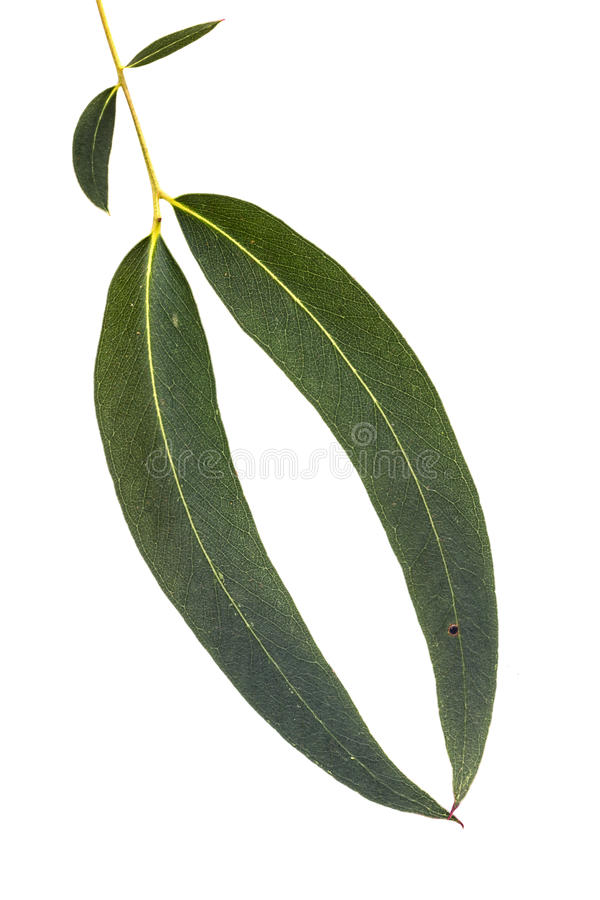 Download Eucalyptus Leaves Isolated On White Stock Photo - Image: 97129230