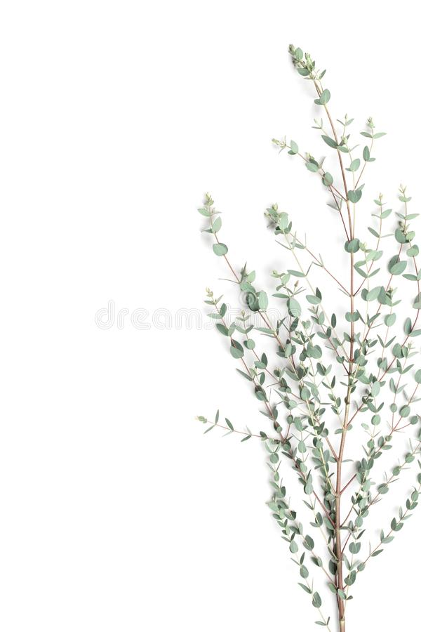 Eucalyptus leaves on white background. Top view and flat lay style. Eucalyptus leaves on white background. Top view and flat lay royalty free stock image