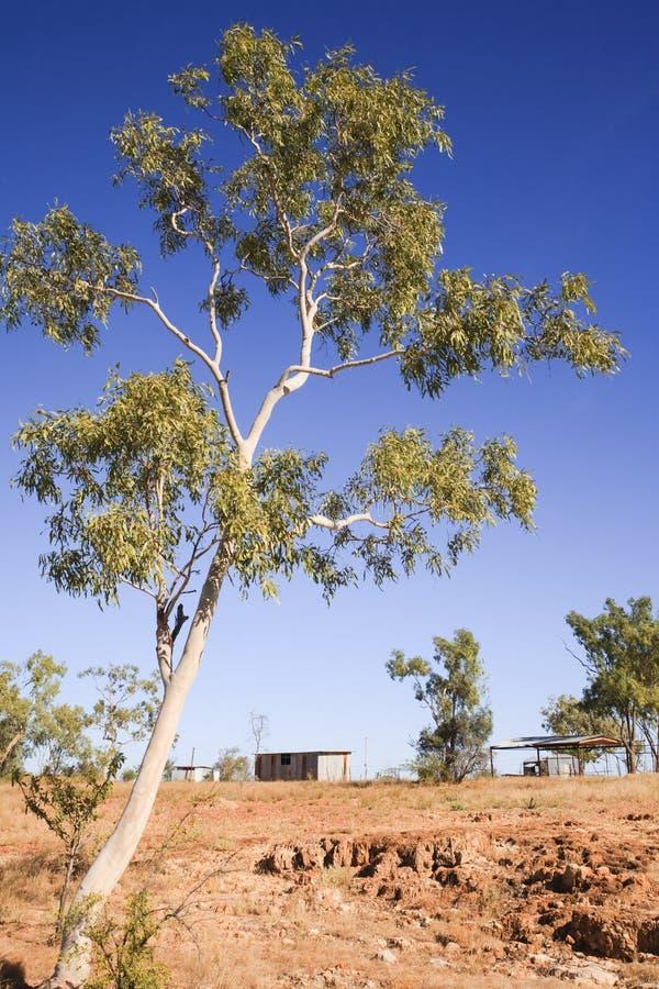 Eucalyptus och Outbuildings för australier Outback royaltyfria bilder