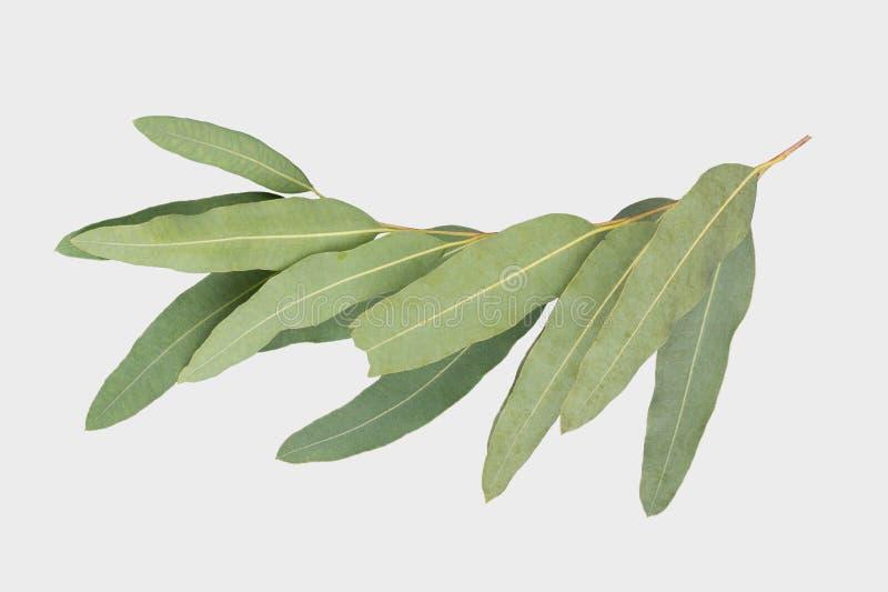 Eucalyptus op grijze achtergrond met het knippen van weg wordt geïsoleerd die stock afbeelding
