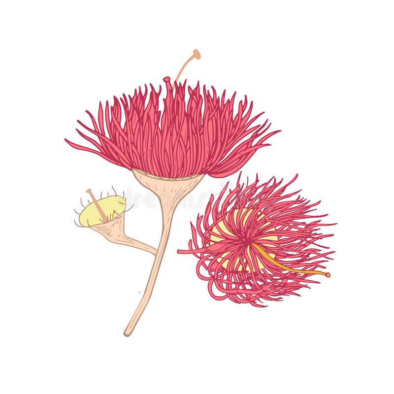 Eucalyptus pink blooming flower hand drawn on white background. Botanical drawing of part of plant used in floristry and. Phytotherapy. Realistic natural vector stock illustration