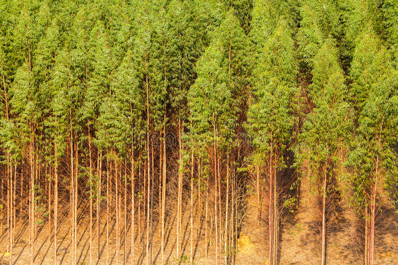 Eucalyptus plantation. In Brazil - celulose paper stock images
