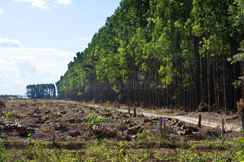 Eucalyptus plantations. For the production of charcoal for the furnaces of the steel industry in the Carajas Project. Maranhao - Brazil royalty free stock images