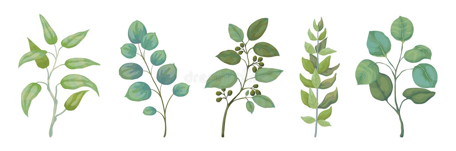 Eucalyptus plants. Rustic foliage branches and leaves for wedding invitation cards, decorative herbs collection. Vector stock illustration