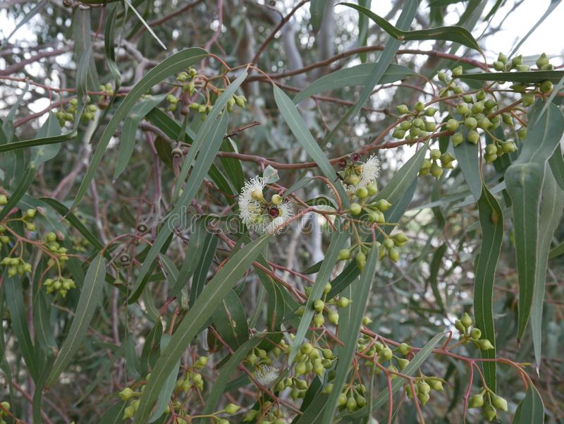 white eucalyptus flowers and  new bud on a branch on a spring day. blue-leaved oil mallee. Eucalyptus polybractea. royalty free stock images