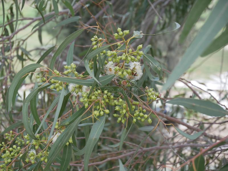 White eucalyptus flowers and  new bud on a branch on a spring day. blue-leaved oil mallee. Eucalyptus polybractea. Eucalyptus polybractea. white eucalyptus stock image