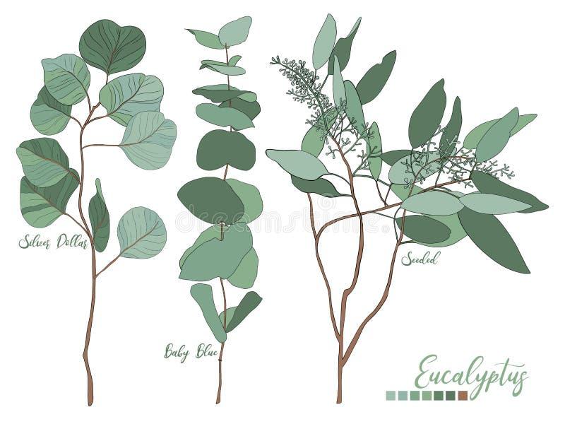Eucalyptus seeded, silver dollar, baby blue tree leaves stock illustration