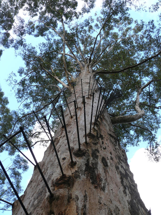 Eucalyptus with stairway. stock photos