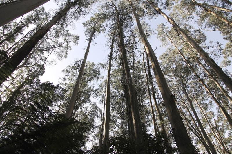 Eucalyptus forest stock image