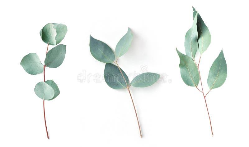 Eucalyptus sur le fond blanc feuilles fraîches d'eucalyptus Configuration plate, vue supérieure images libres de droits