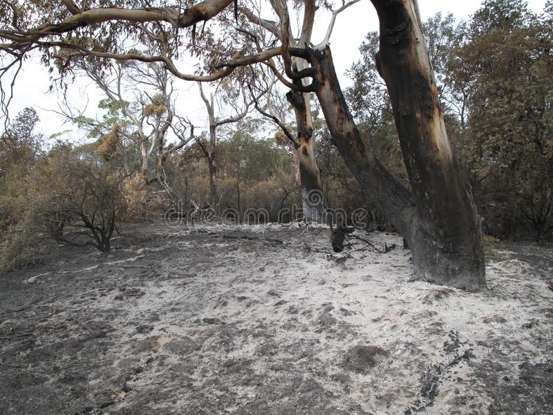 Eucalyptus surrounded by white ash from Bushfire royalty free stock image