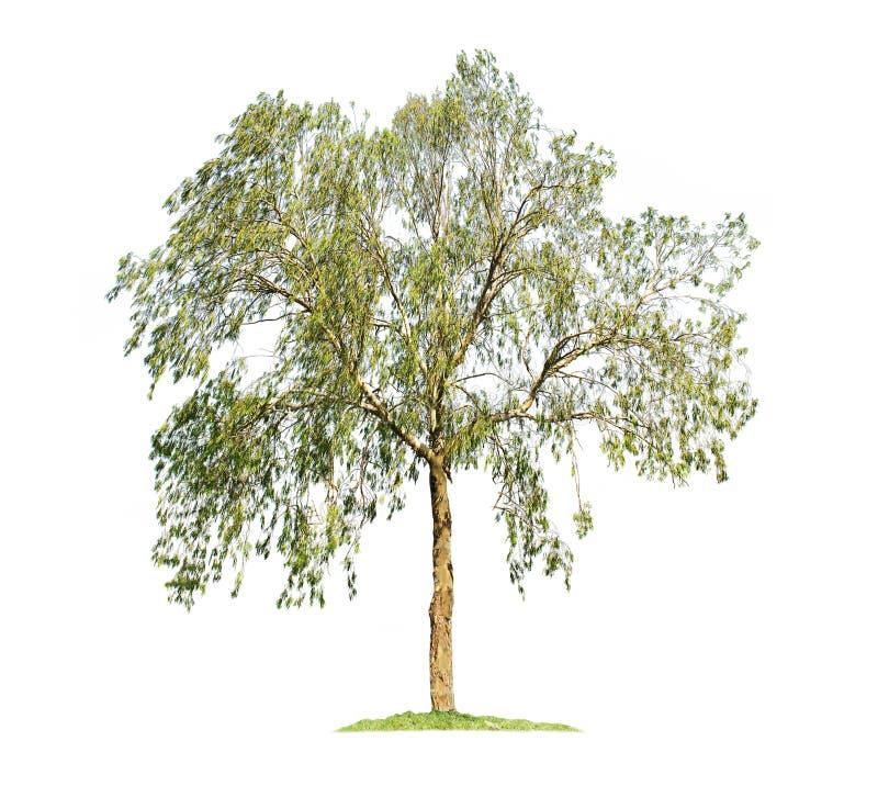 Eucalyptus-träd isolerat på vit bakgrund royaltyfria foton