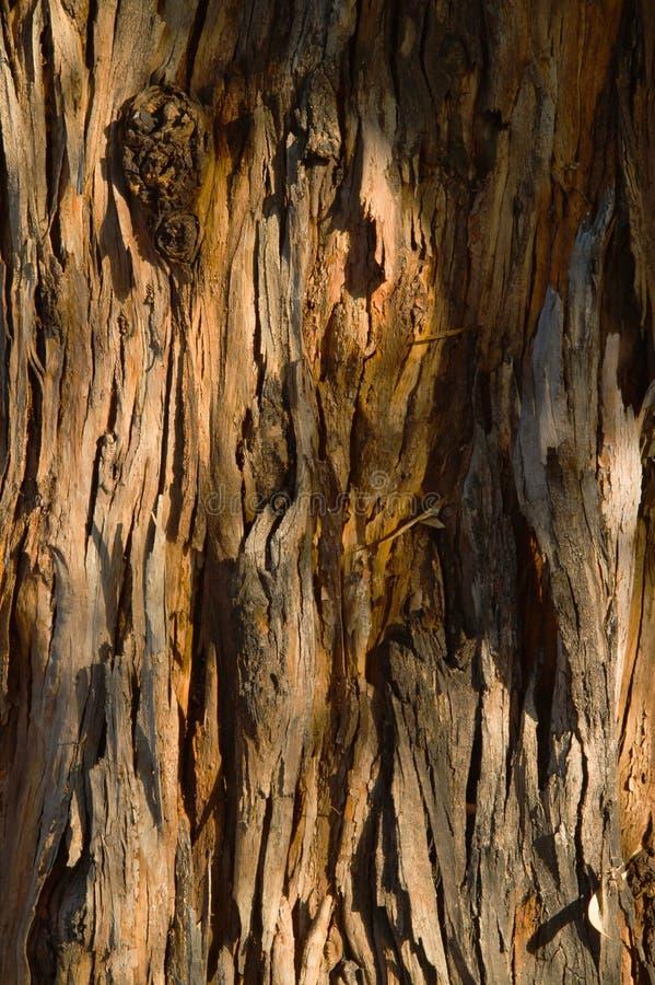 Eucalyptus Tree Bark. Closeup of flaking brown Eucalyptus Tree Bark stock photo