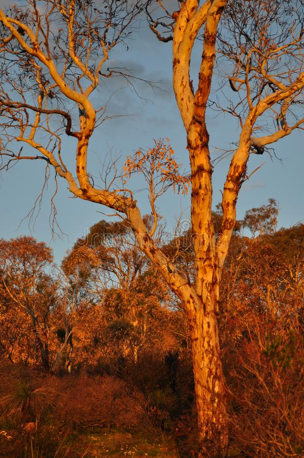 Eucalyptus tree,  late evening light, golden hour. Beautiful landscape with eucalyptus trees, late evening sunlight, Whistlepipe Gully Walk, Mundy Regional Park royalty free stock photography