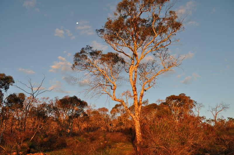 Eucalyptus tree,  late evening light, golden hour. Beautiful landscape with moon and eucalyptus trees, late evening sunlight, Whistlepipe Gully Walk, Mundy stock image