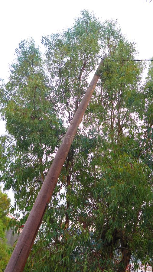 Eucalyptus tree and leaning telegraph pole royalty free stock photos