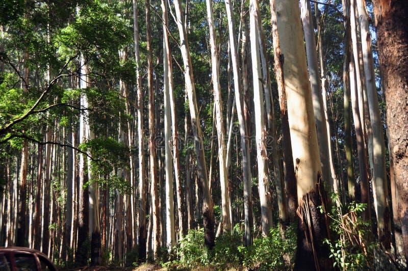Eucalyptus Trees royalty free stock images