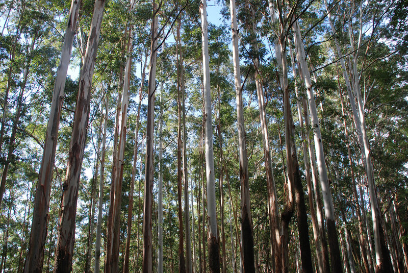 Eucalyptus trees stock images