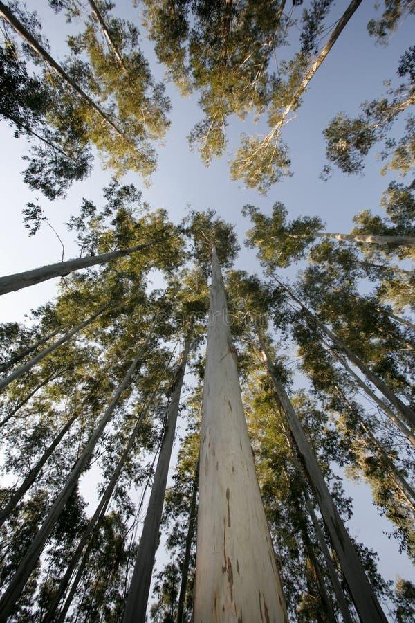 Eucalyptus trees royalty free stock photography