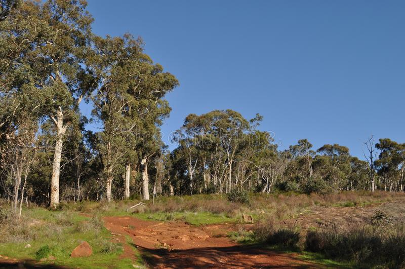Eucalyptus trees and blue sky, Western Australia. Eucalyptus trees and heath in bushland on the Whistlepipe Gully Walk, Mundy Regional Park, Perth Hills, Western royalty free stock photo