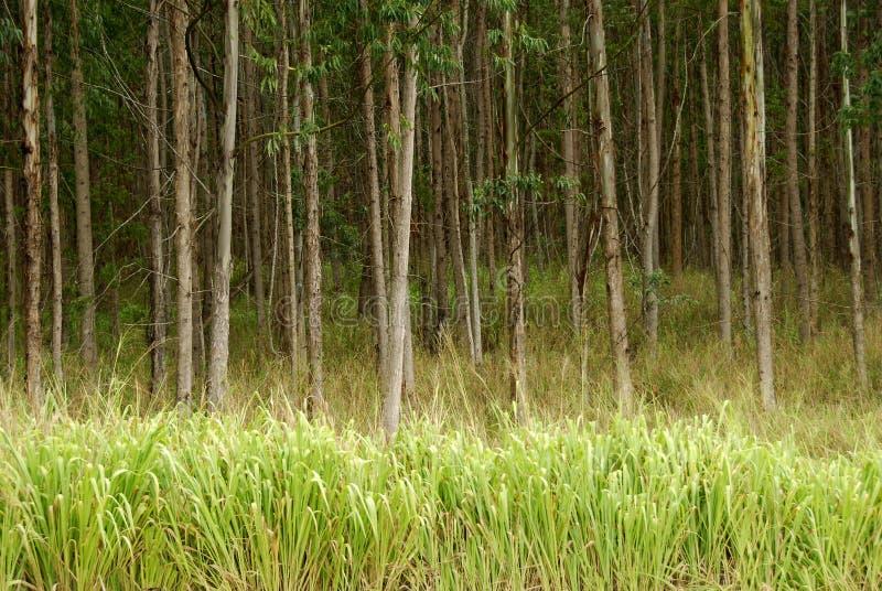 Eucalyptus Trees Hawaii stock photo