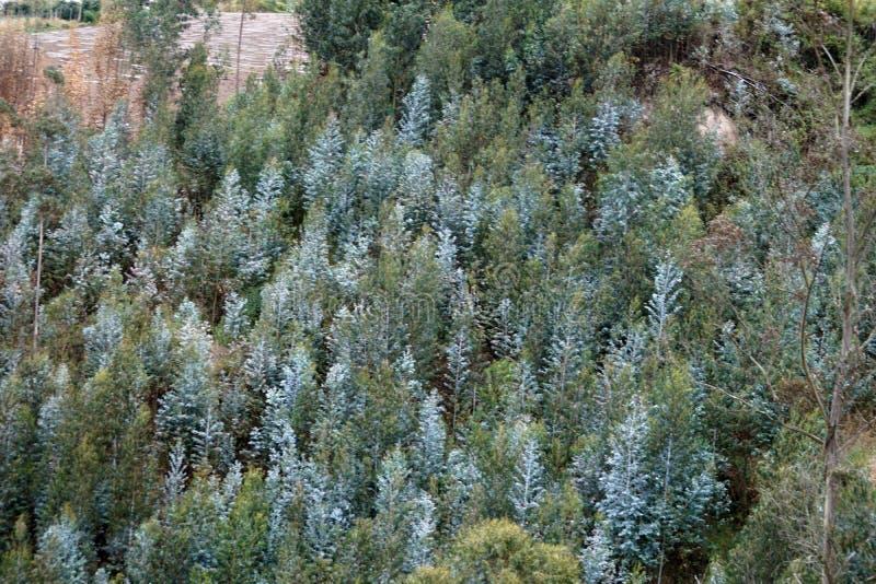 Eucalyptus trees on a slope stock image