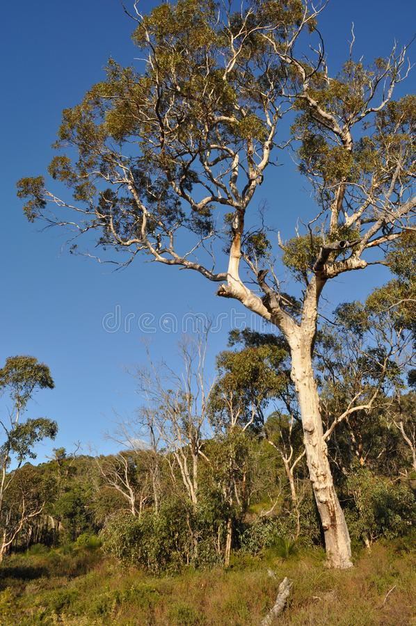 Eucalyptus trees in Springtime, Australia. Eucalyptus tree and Australian bushland on the Whistlepipe Gully Walk, Mundy Regional Park, Perth Hills, Western stock photos