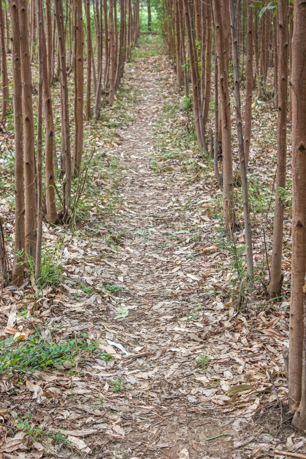 Eucalyptusaanplanting 1 royalty-vrije stock foto