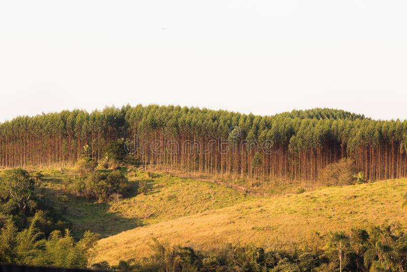 Eucalyptusaanplanting royalty-vrije stock afbeelding