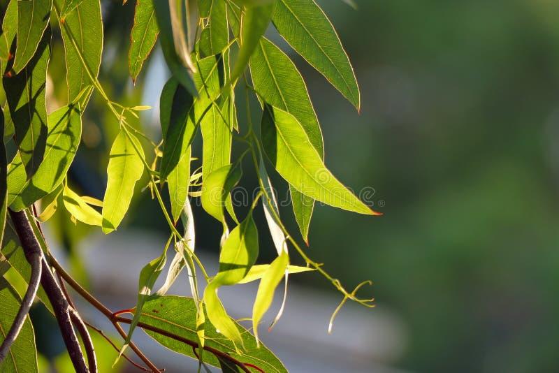 Eucalyptusbladeren backlit bij zonsondergang stock fotografie