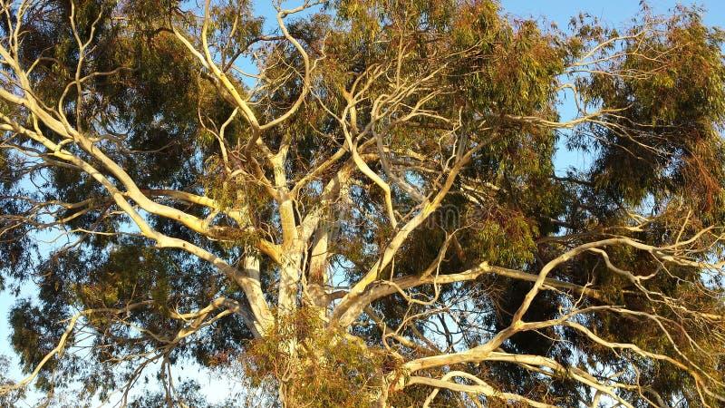 Eucalyptusboom stock foto's