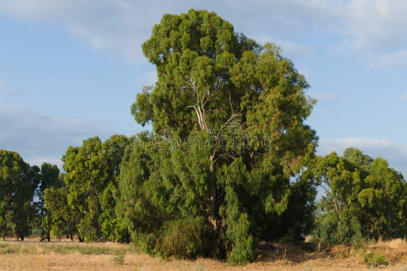 Eucalyptusboom royalty-vrije stock foto